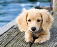 Image For Golden Retriever Average Weight