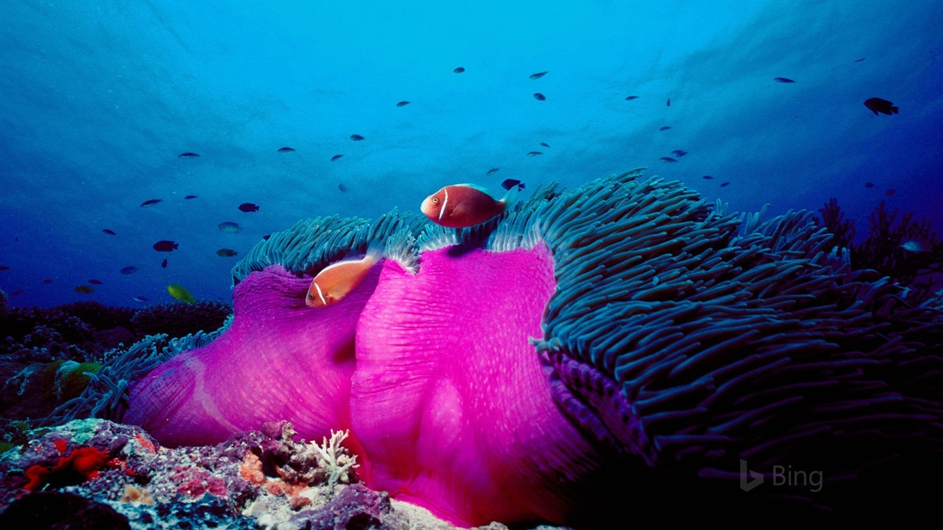 Animal Print Desktop Wallpaper Australia Pink Skunk Clownfish And Magnificent Sea Anemone
