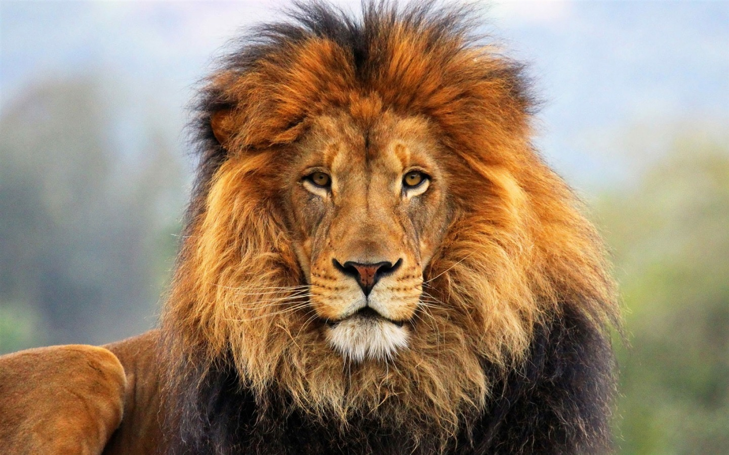 Cute Pet Animals Hd Wallpapers Face Eyes Lion Fur Mane Animal Hd Wallpaper Preview