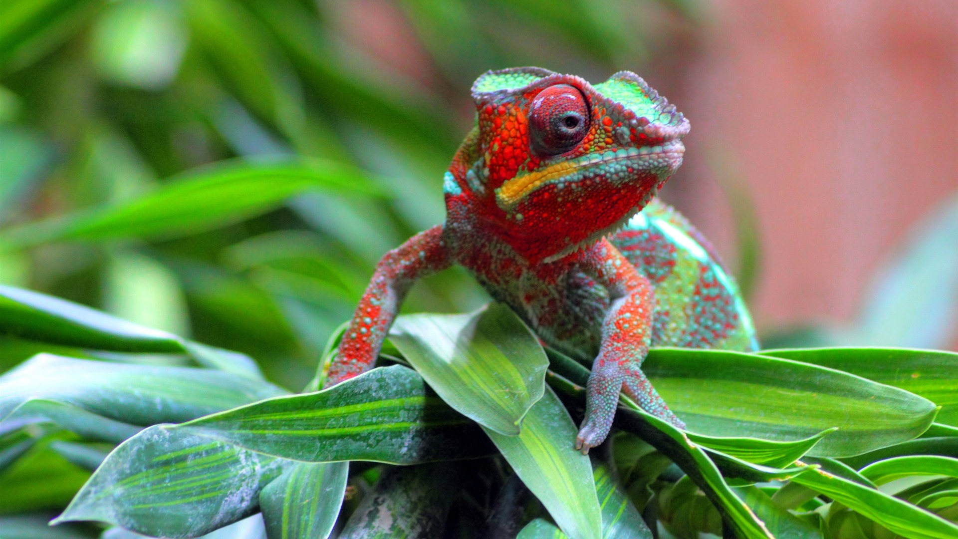The Best Desktop Wallpapers Hd Red Chameleon Animal Photography Wallpaper Preview