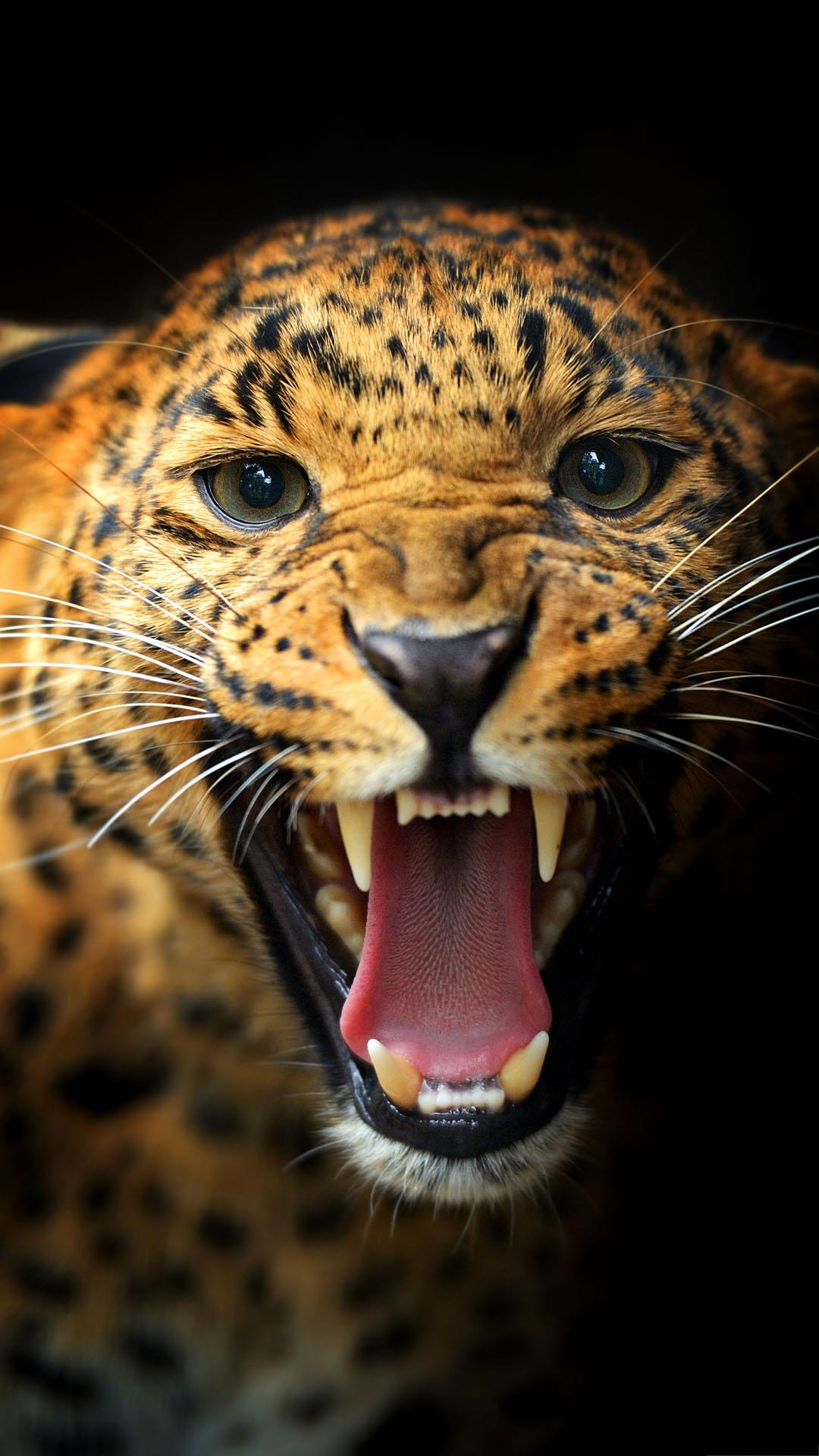 Cute Girly Skull Wallpapers Angry Leopard Wallpaper