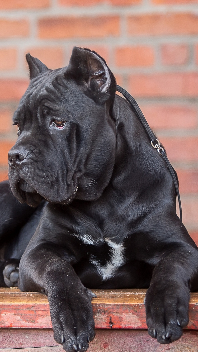 Girly Quotes Wallpapers For Mobile Cane Corso Dog
