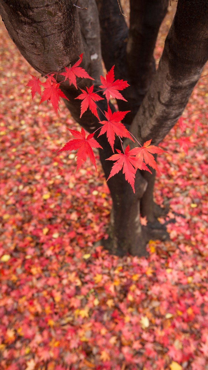 Quote Wallpaper For Sony Xperia Red Leaf In Autumn