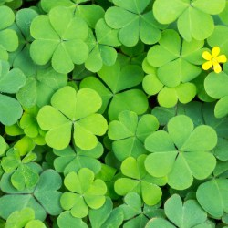 Fun Four Leaf Clover Facts for St Patricks Day Petal Talk