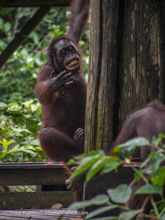 Orangutan smiling