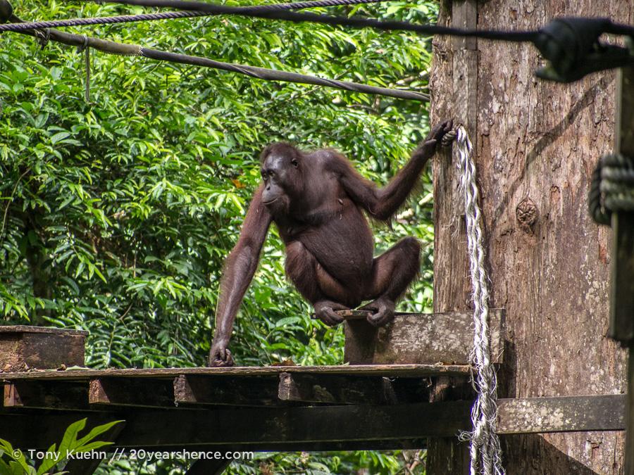 Orangutan on feeding platform