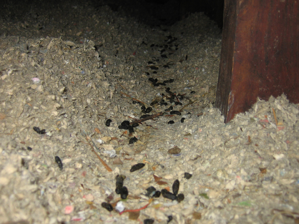 Rat Photograph Rats Leave Trails And Droppings In Attic