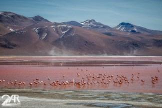 Flamingos and der roten Lagune