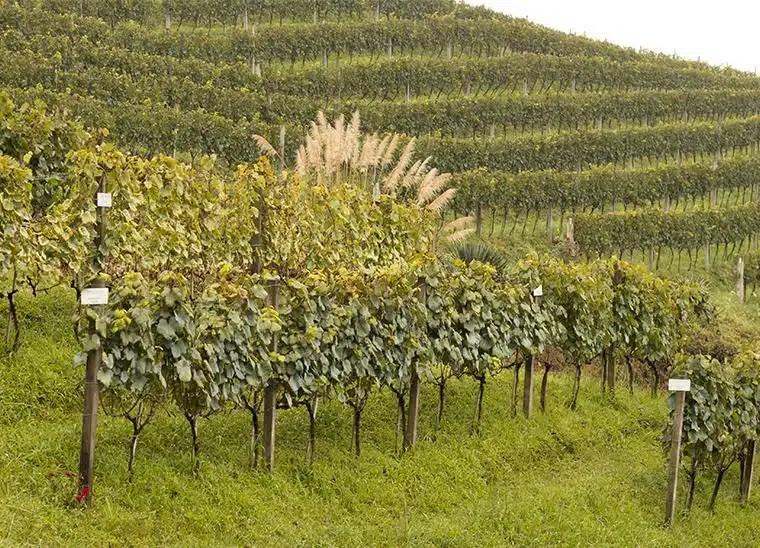 Vale dos Vinhedos: uma parte do Brasil que entende (muito) de vinhos