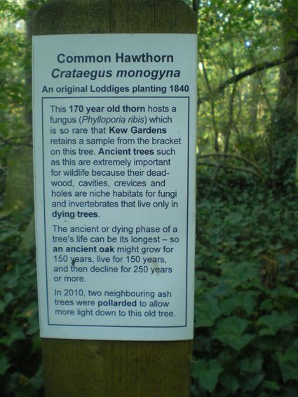 commonhawthorn