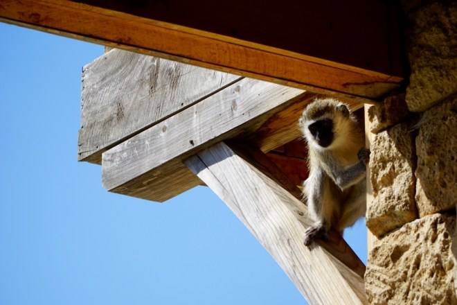 Vervet monkeys checking us out when we arrived