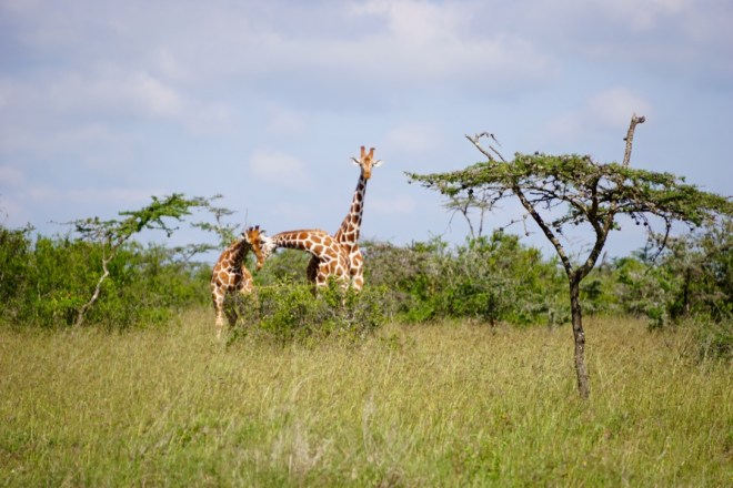 Two juvenile giraffes play-fighting while an older male looks on