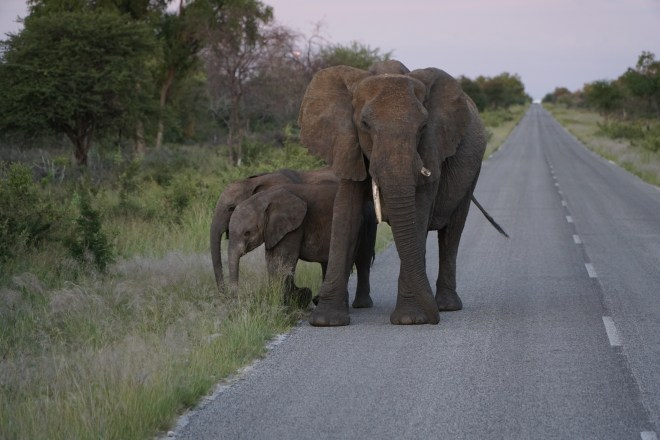 Grandma elephant with two babies.