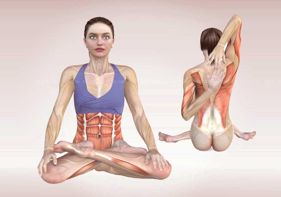 Anatomy And Yoga Poses | Spotgymyoga.org