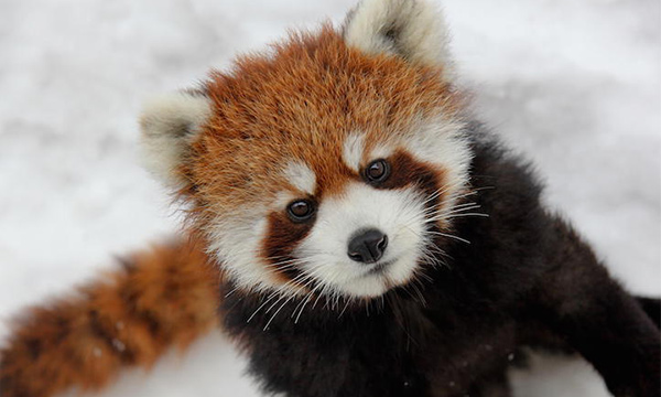 Emoji Wallpaper Cute Red Panda Facts Habitat Diet Amp Photos Of Endangered Red