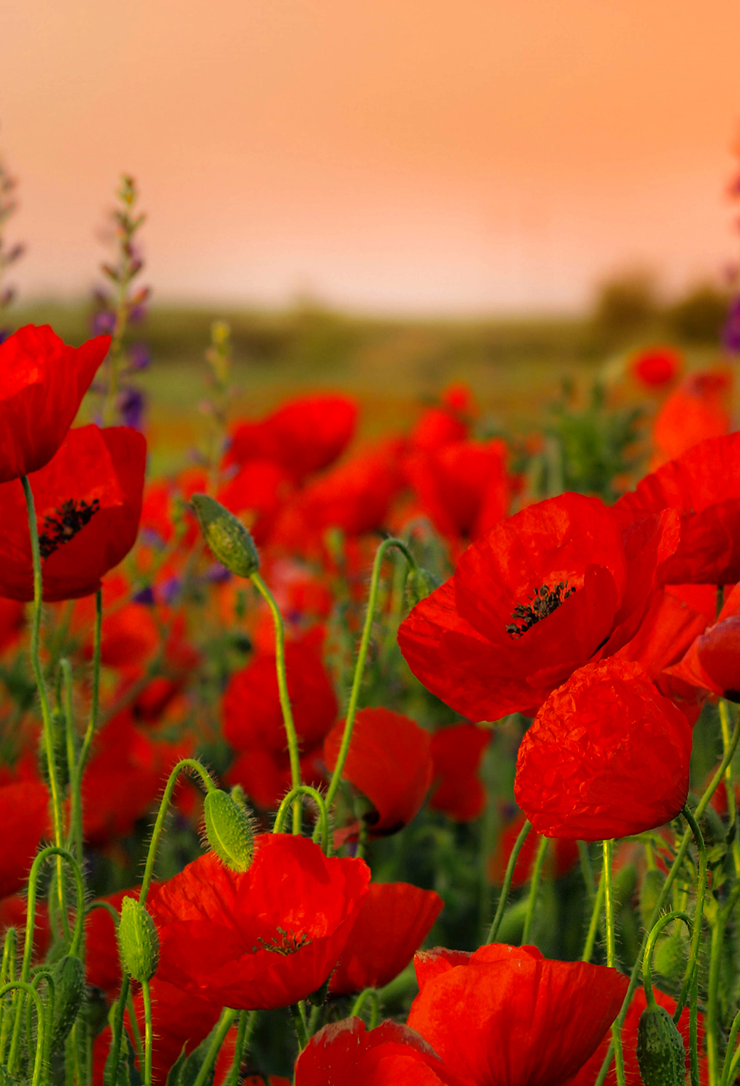 Beautiful Fiction Girl Wallpapers Poppies Wallpaper For Iphone X 8 7 6 Free Download On