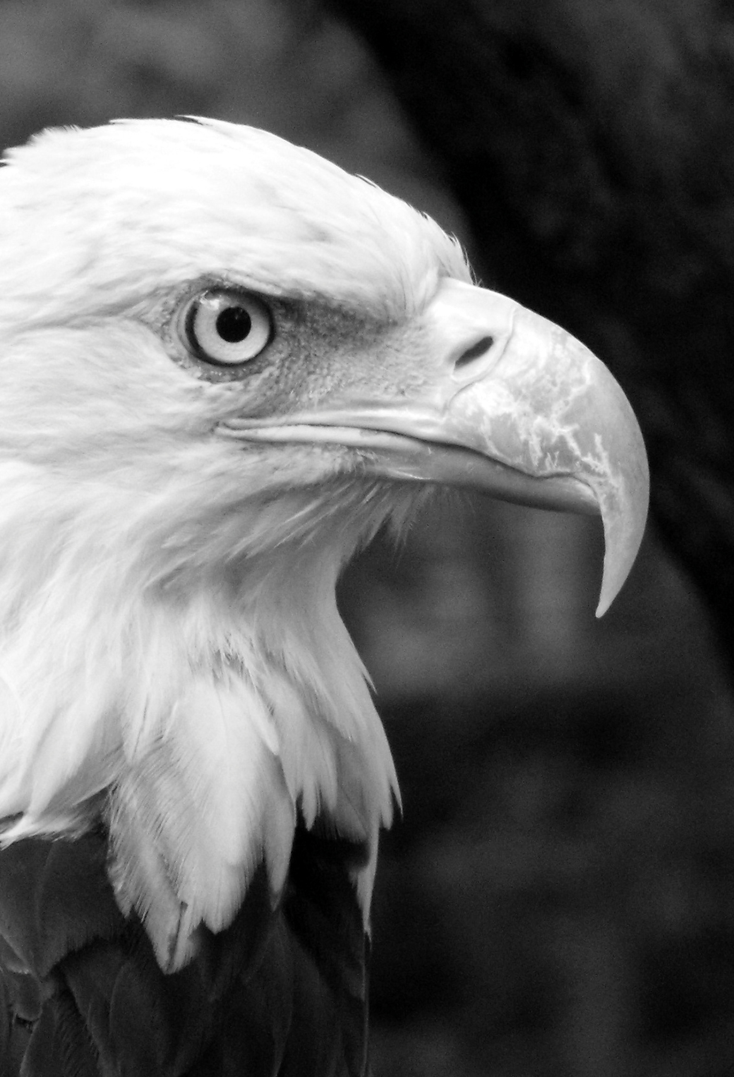 Girl Black And Gray Wallpaper Black Amp White Eagle Wallpaper For Iphone X 8 7 6 Free