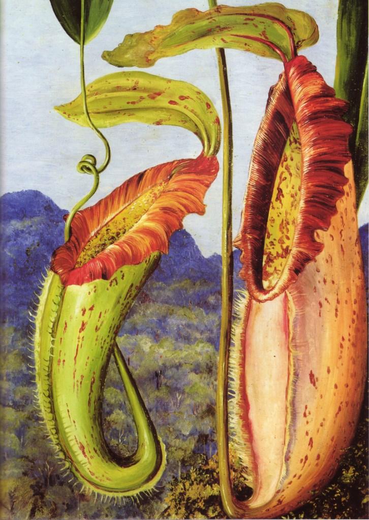 Pitcher plants of Borneo (1876) (via Wikimedia)