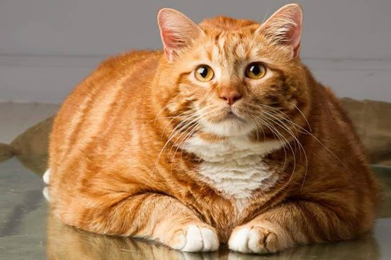 How Do You Help A Fat Cat Lose Weight?