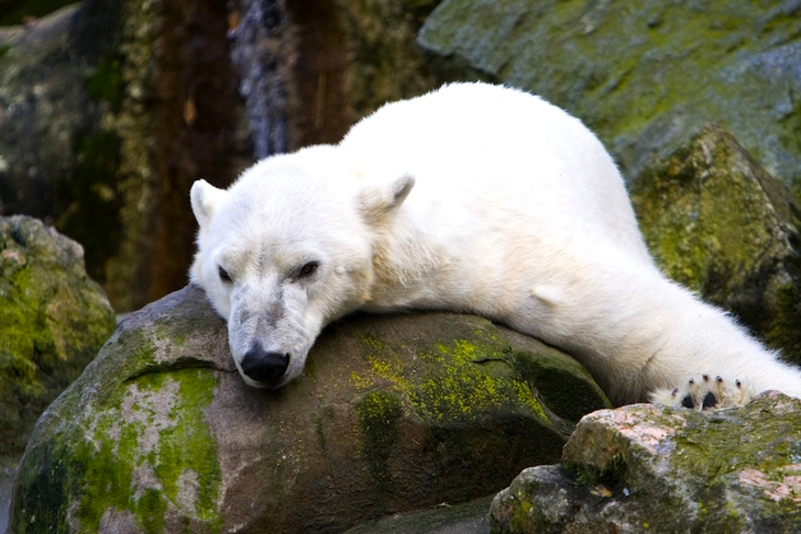 polar-bear-on-rocks