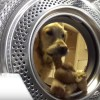 golden-retriever-teddy-bear-video