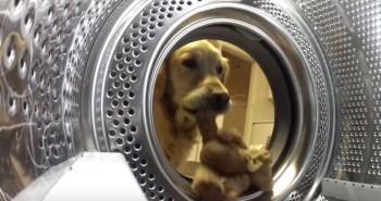 golden-retriever-teddy-bear-video