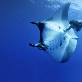 Sobreexplotación y baja reproducción colocan en alto riesgo de extinción a la manta de espina