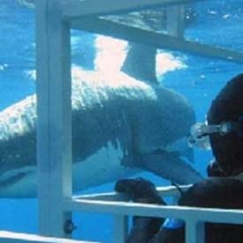 """Piden a gobierno mexicano """"salvar"""" al tiburón blanco de Guadalupe"""