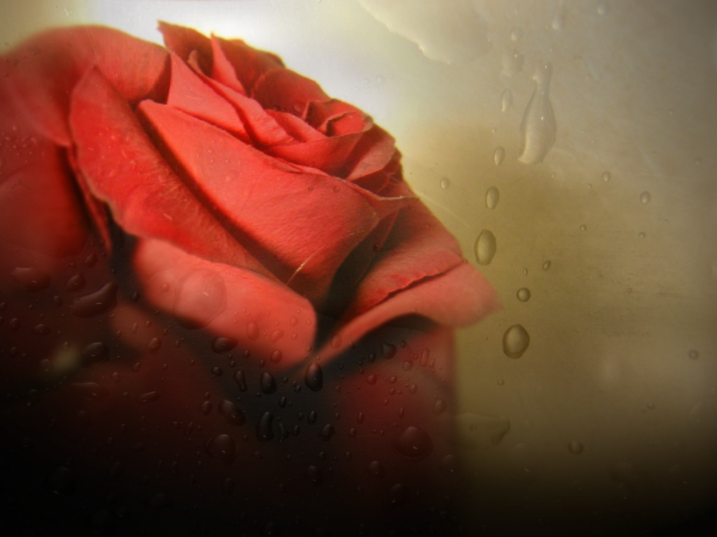 Falling Leaves Wallpaper Free Download Free Wallpaper Includes A Red Rose Is It Crying Free