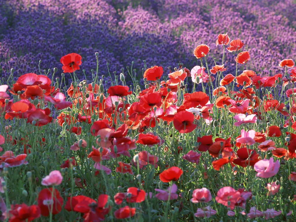 Poppy Wallpaper For Iphone Poppy Flowers Image Red And Purple Flowers On Hillside