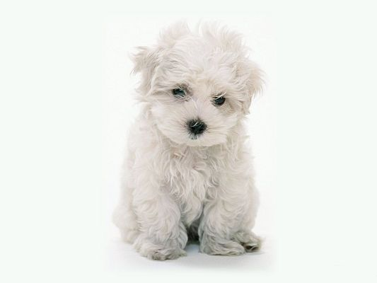 Cute Valentine Pc Wallpaper White Maltese Poodle Free Wallpaper World
