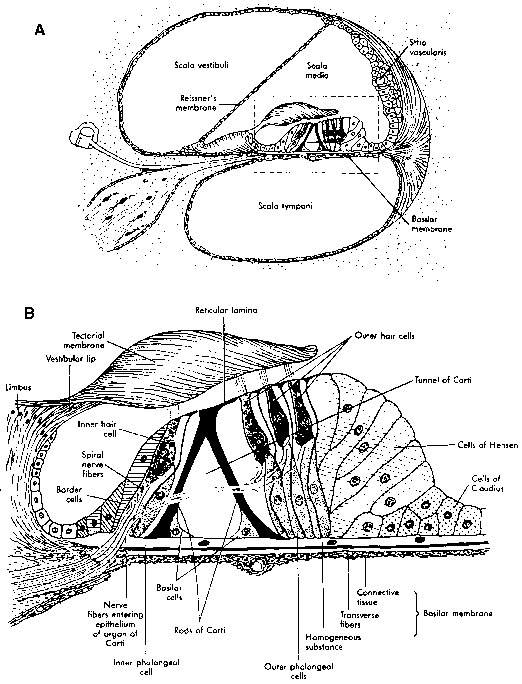 diagram of organ of corti