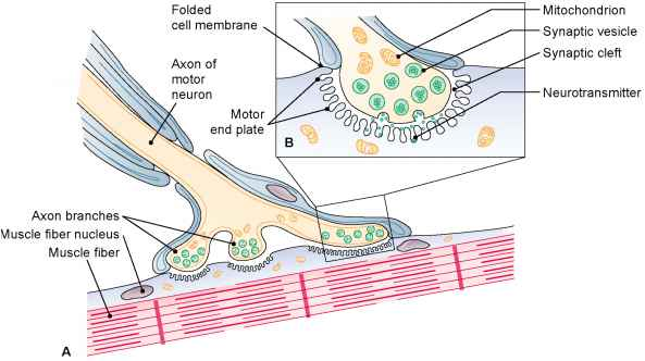 Naming of Muscles - Medical Terminology - 78 Steps Health Journal - neuromuscular junction
