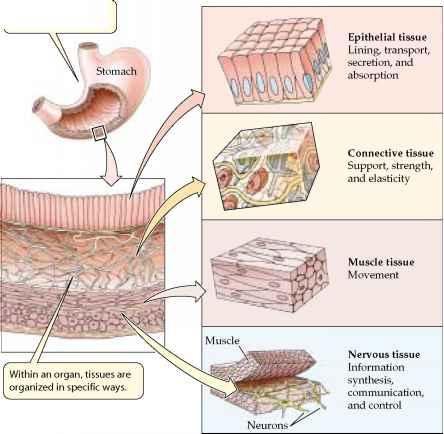 Tissues Organs and Organ Systems - Plasma Membrane