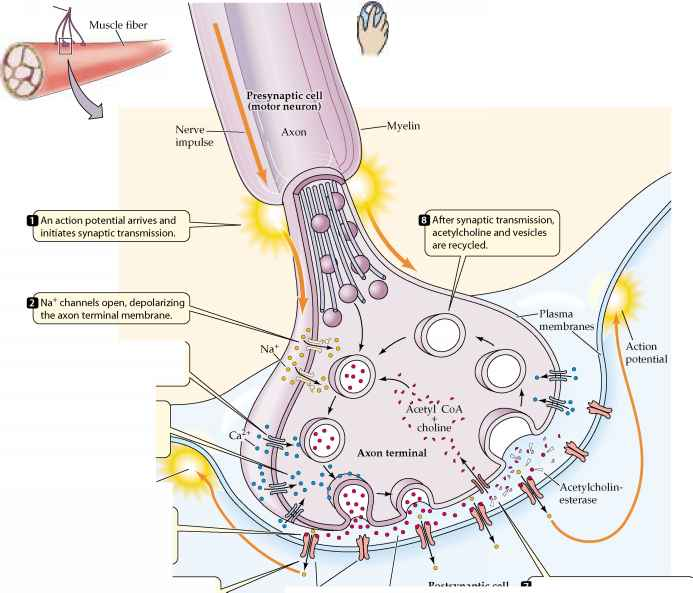 Neurons Synapses and Communication - Plasma Membrane - neuromuscular junction