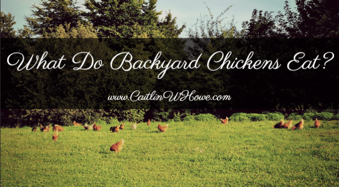 What do backyard chickens eat?
