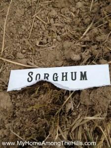 Planting sorghum