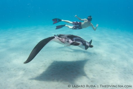 Swimming with a manta ray