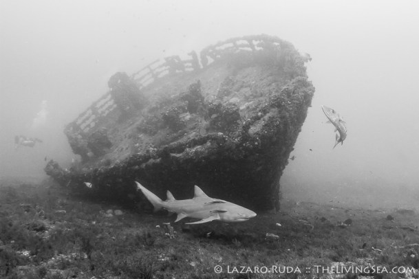 Lemon shark and ship wreck