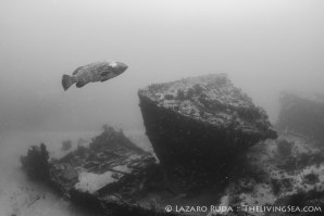 Goliath grouper on the PC1174 wreck