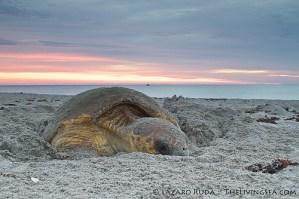 Loggerhead nesting on the beach
