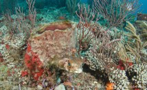 Pufferfish among the finger coral