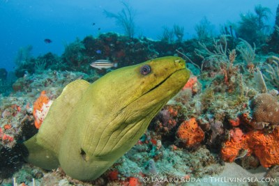 Friendly green moray eel