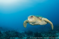 Male loggerhead sea turtle looking for a mate