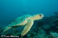 A Loggerhead turtle cruising along the reef
