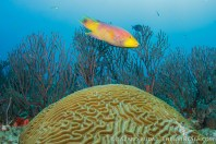 A Spanish hogfish rushing to get to the party!