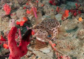 A juvenile Balloon Fish is curious about the camera