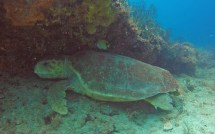 Loggerhead rest along a ledge on 'Turtle Mound' on Breaker's Reef