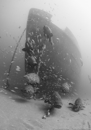Goliath groupers stacked on the bow