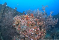 The coral-covered Amaryllis wreck